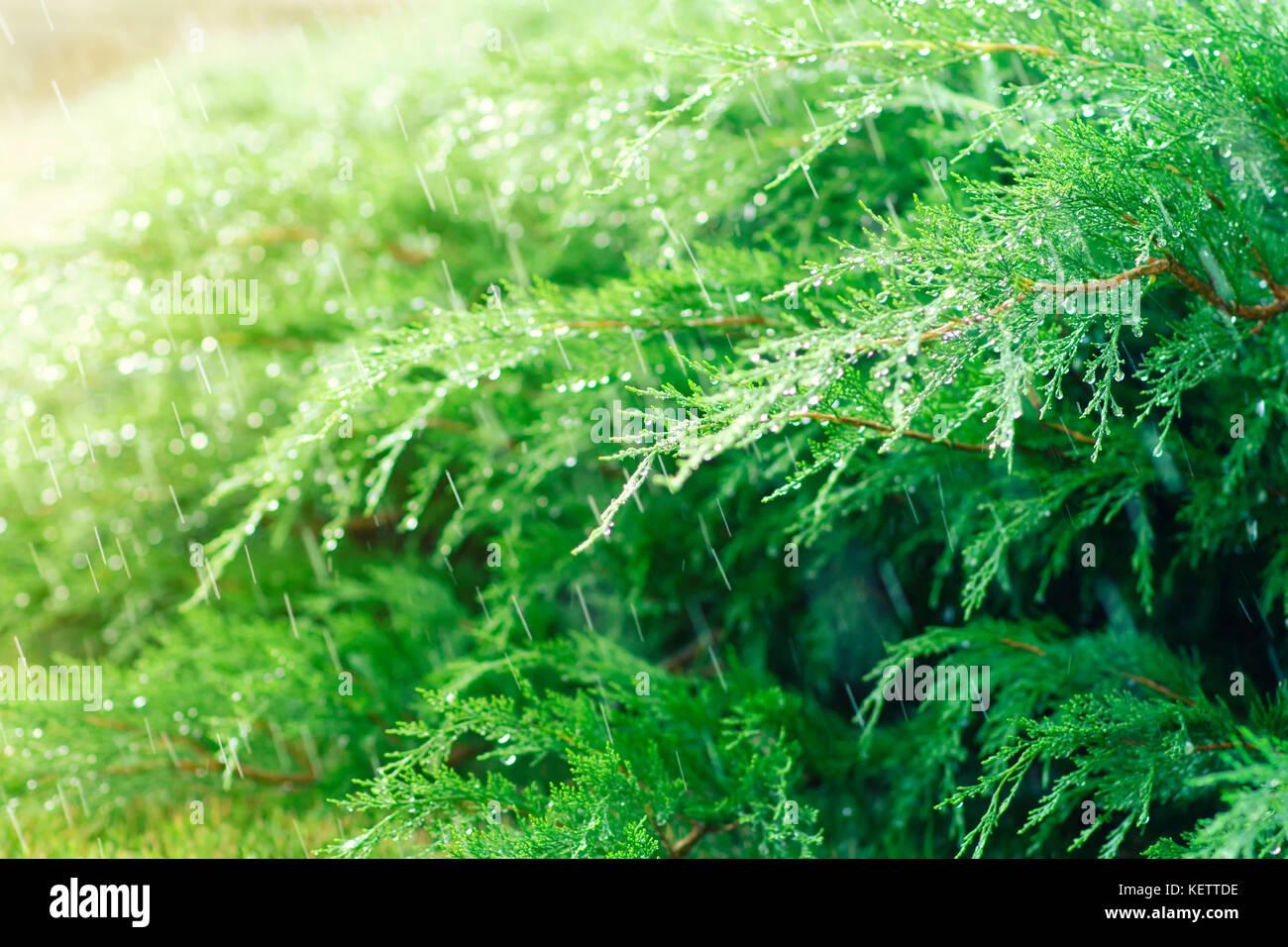 Watering juniper on a lawn, splashing water - Stock Image