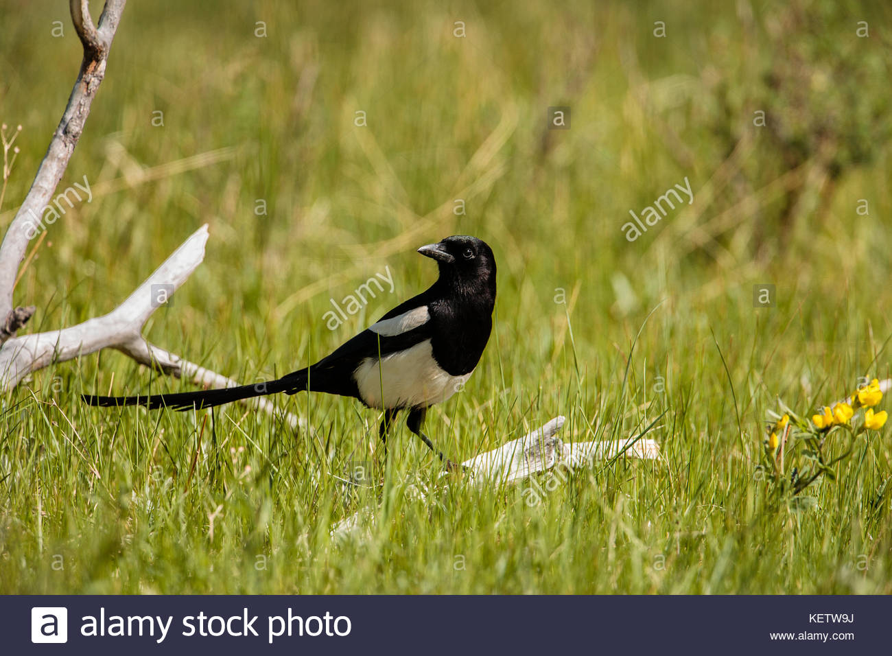 Black-billed magpie, reviewing meadow within Moraine Park, Rocky Mountain National Park, Colorado - Stock Image