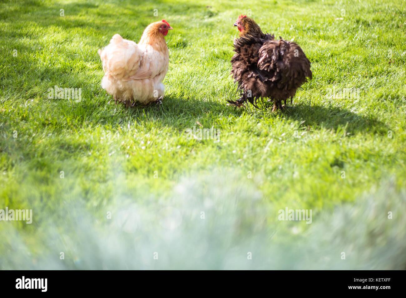 Pet Bantam chickens in back garden - Stock Image