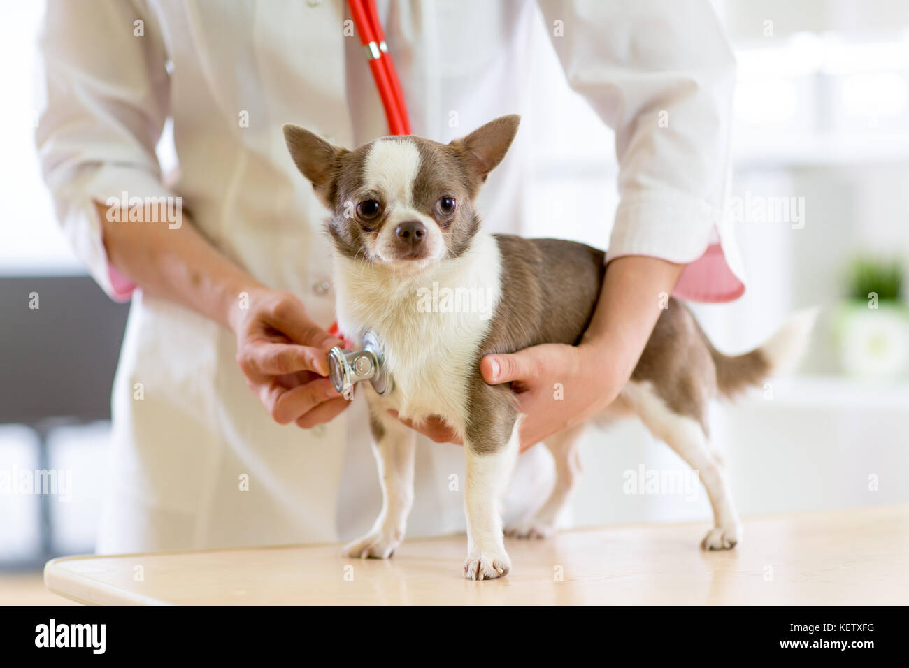 Veterinarian doctor using stethoscope during examination in veterinary clinic. Dog terrier in veterinary clinic - Stock Image