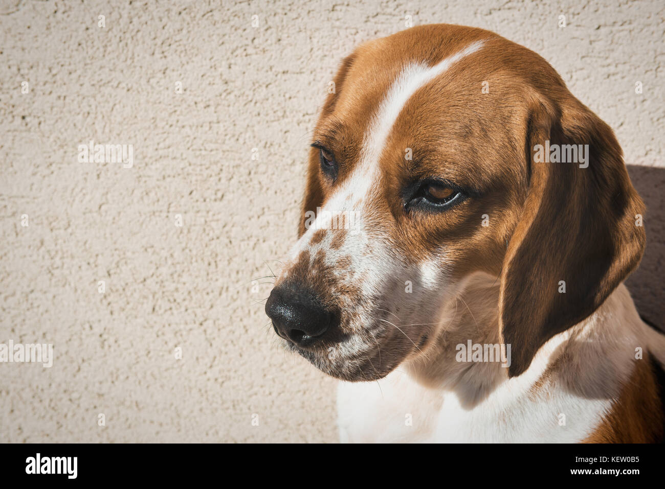 Cute beagle with sad eyes, adoption rescue concept - Stock Image