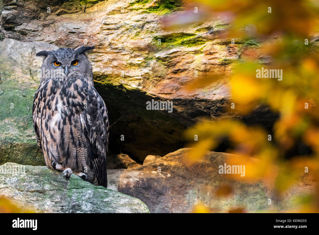 Eurasian eagle owl (Bubo bubo) sitting on rock ledge in cliff face in autumn forest - Stock Image