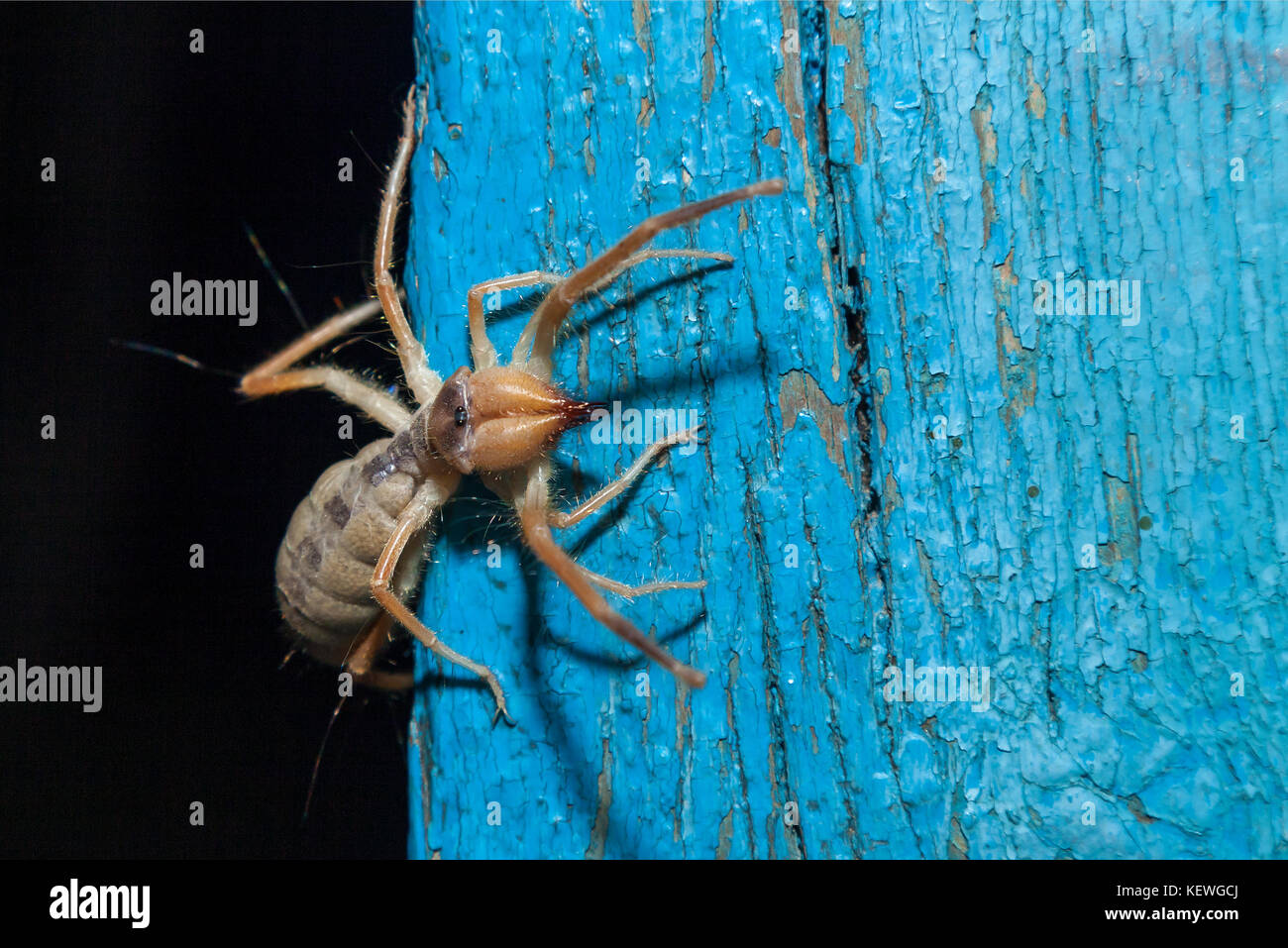big unknown spider - Stock Image