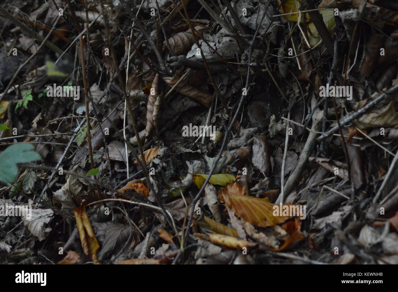 A tiny mouse hiding in woodland edge - Stock Image