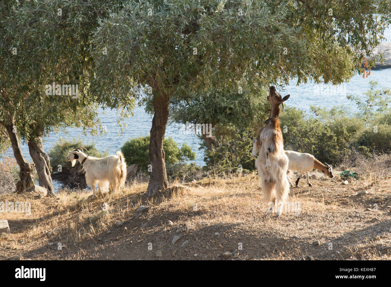 Goat standing on hind legs reaching up to feed on lower branches of an olive tree, Thassos, Greece, Greek island, - Stock Image