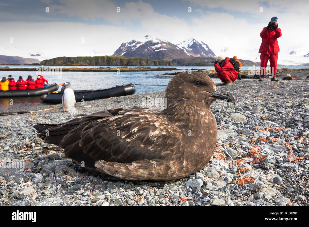 A Brown Skua, Stercorarius antarcticus on the beach on Prion Island, South Georgia, Southern Ocean. - Stock Image