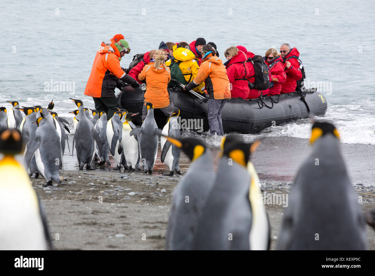 King Penguins on Salisbury Plain, South Georgia, with passengers from an expedition cruise. - Stock Image