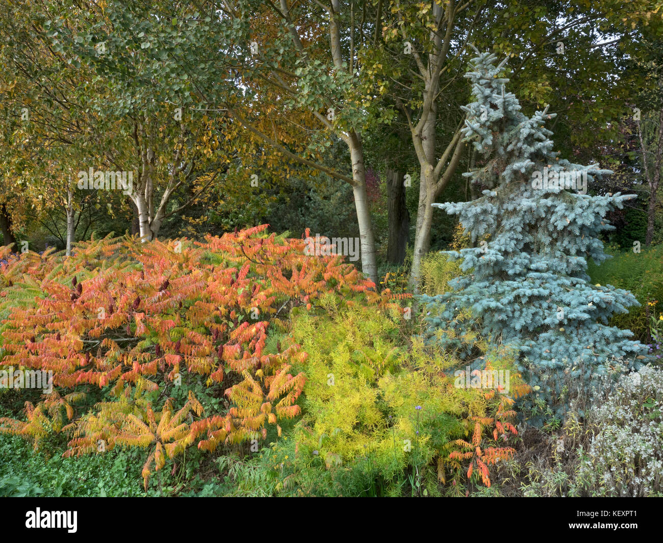 Silver birch and other Autumn foliage at Bressingham Gardens Norfolk October - Stock Image