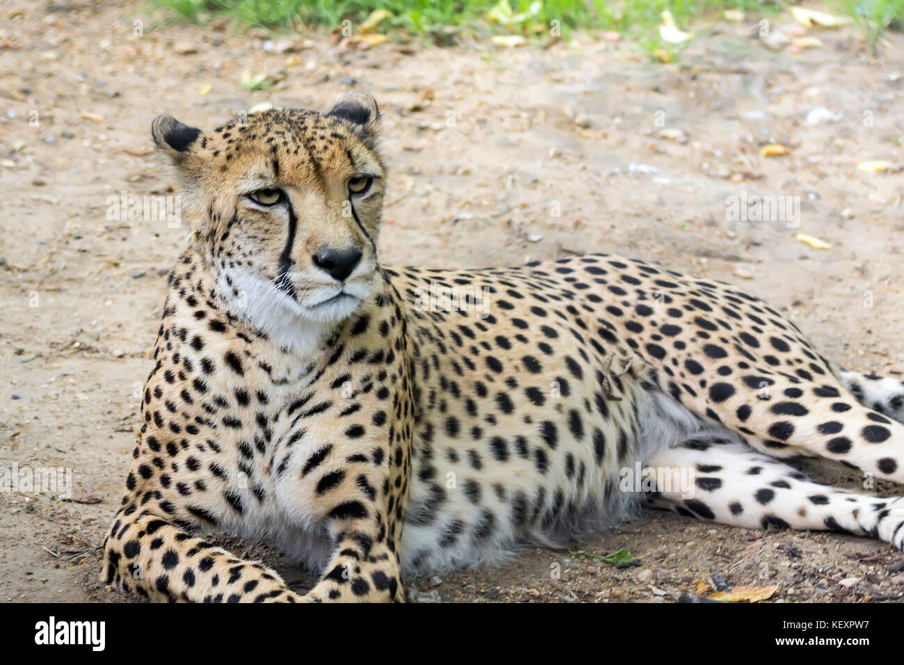 a large portrait of a cheetah, shot from a long distance, - Stock Image
