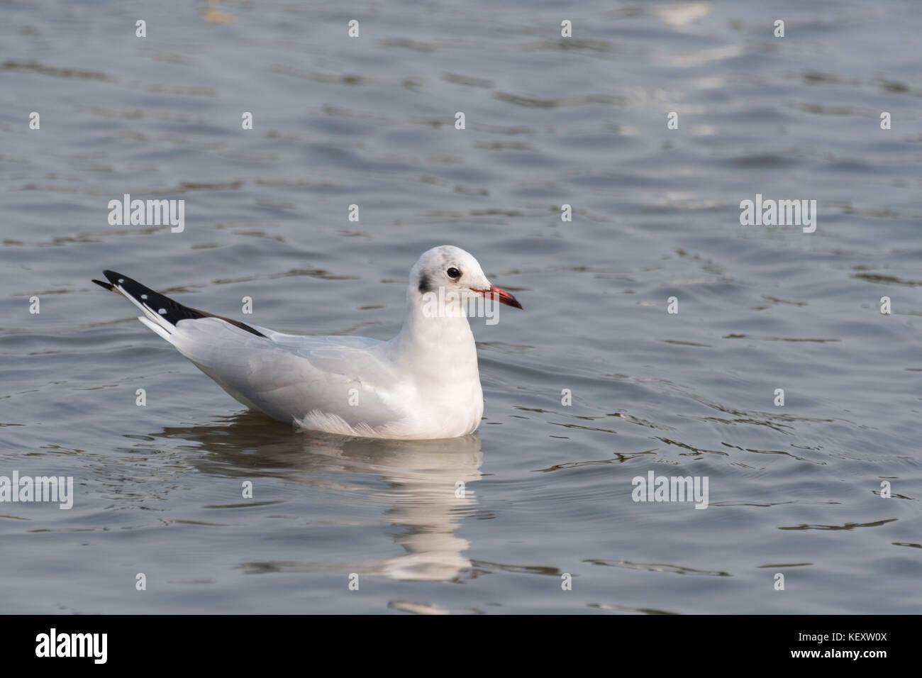 Black Headed Gull - Stock Image
