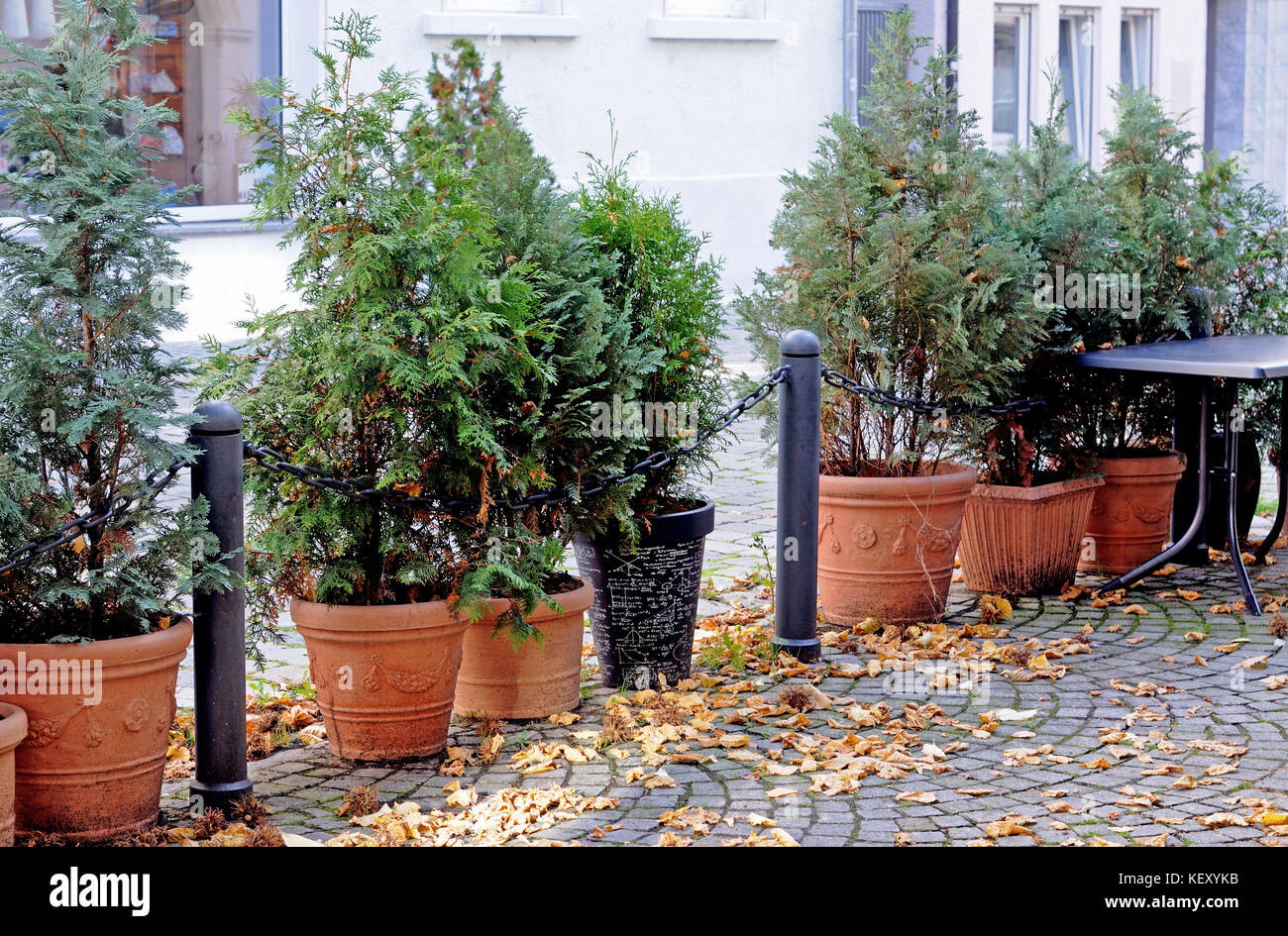 conifers in plant pots - Stock Image