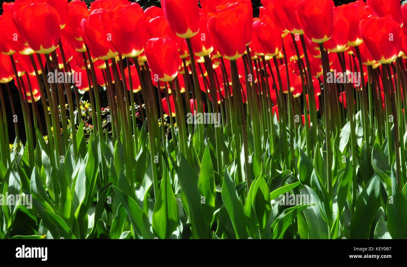 Stems- The Life Support. An inspirational Image created with unique point of view in Keukenhof Tulip garden. The - Stock Image