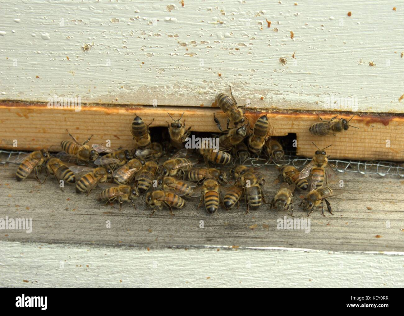 Honey Bees Gather At Their Hive Entrance - Stock Image