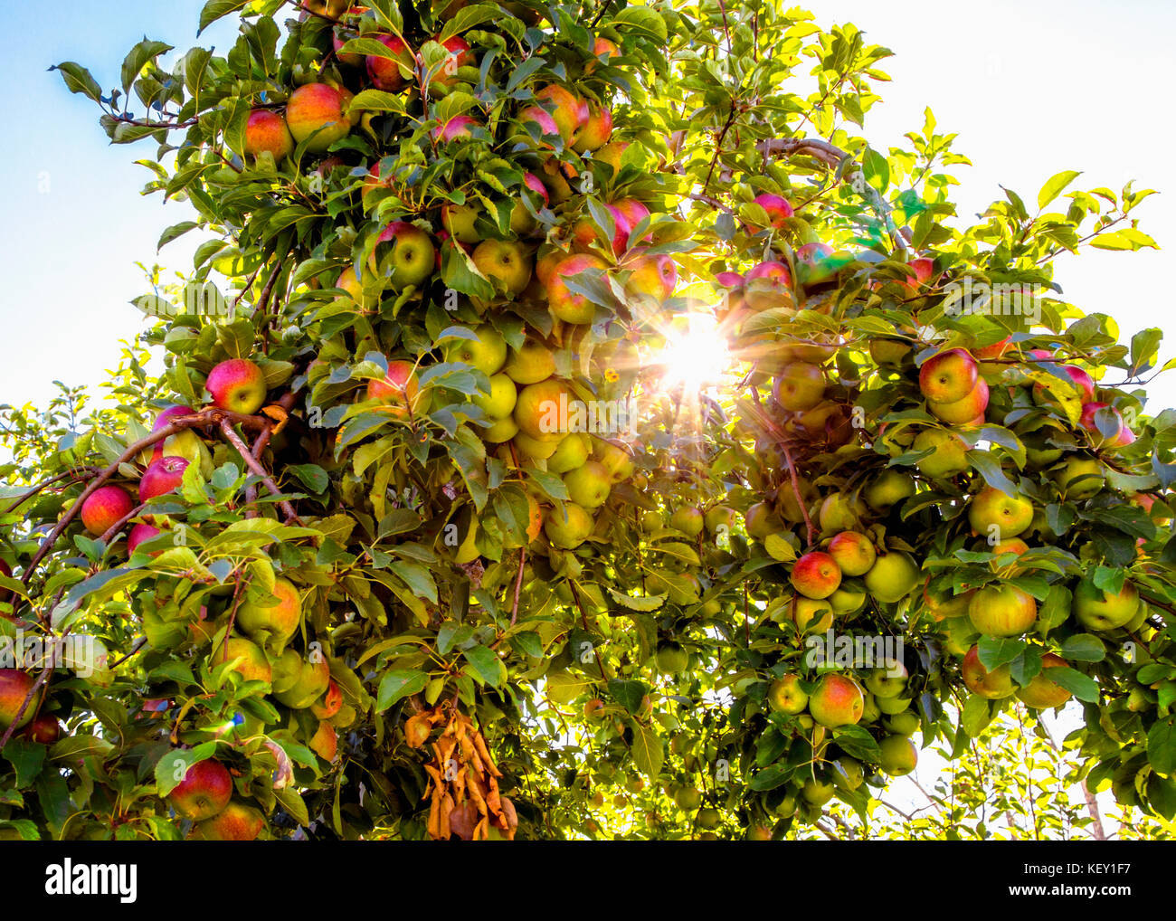 The sun shines through as apple tree with ripe red apples - Stock Image