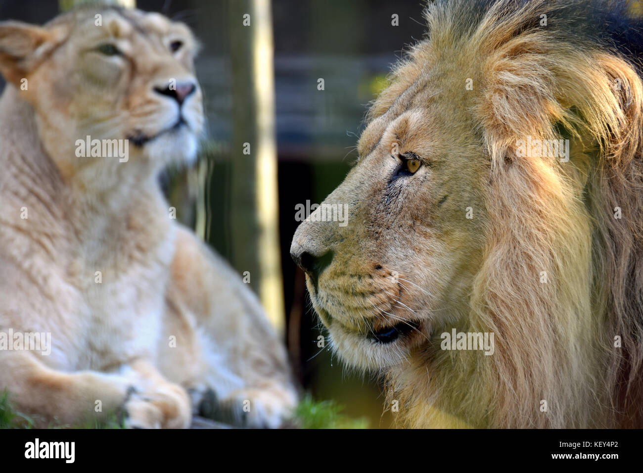 Asiatic lions (Panthera leo persica) couple, also known as the Indian lion and Persian lion. Male on foreground, - Stock Image