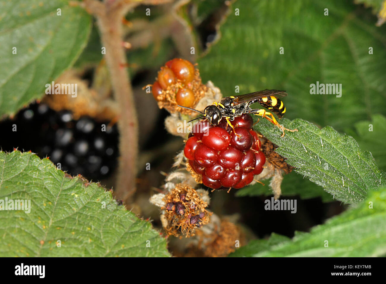 Field Digger Wasp (Mellinus arvensis) resting on Bramble (Rubus fruticosus) berry in hedge at edge of field Cheshire - Stock Image