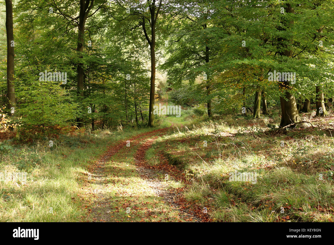 Autumn Woodland scene in the Chiltern Hills in England with leaf strewn track between the trees - Stock Image
