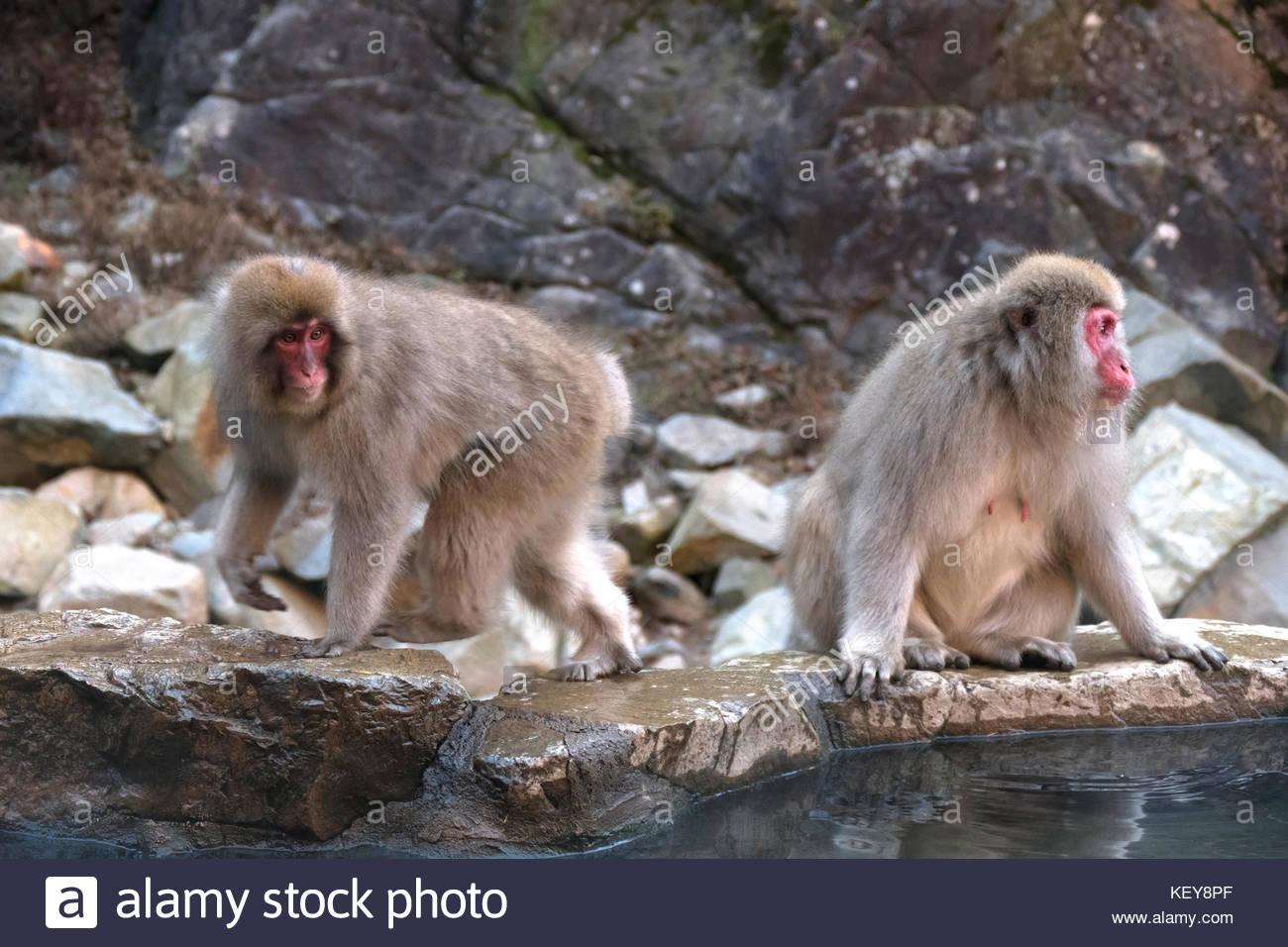 Snow monkeys or Japanese macaques (Macaca fuscata) at Jigokudani Monkey Park, Japan, Asia. Japanese wildlife, Asian Stock Photo