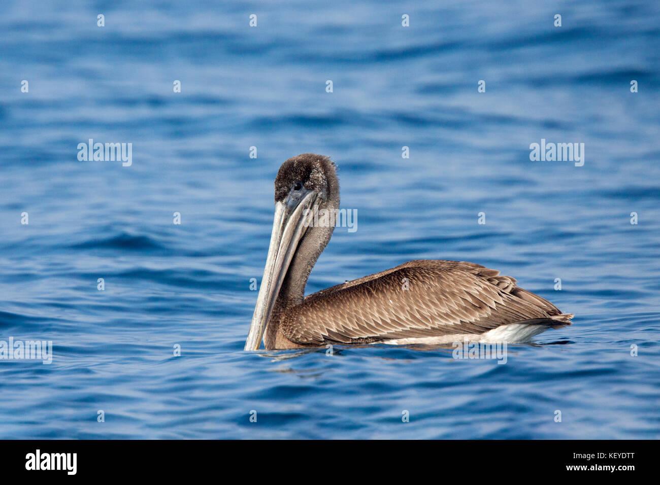 Brown Pelican  Pelecanus occidentalis San Diego, California, United States 10 September 2012     Immature       - Stock Image