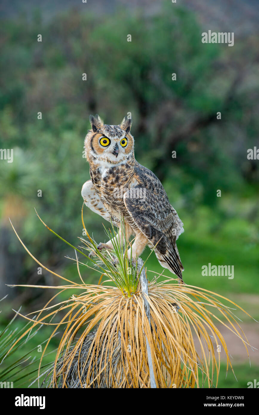Great Horned Owl  Bubo virginianus Tucson, Arizona, United States 20 August 2014          Immature sitting on Soaptree - Stock Image