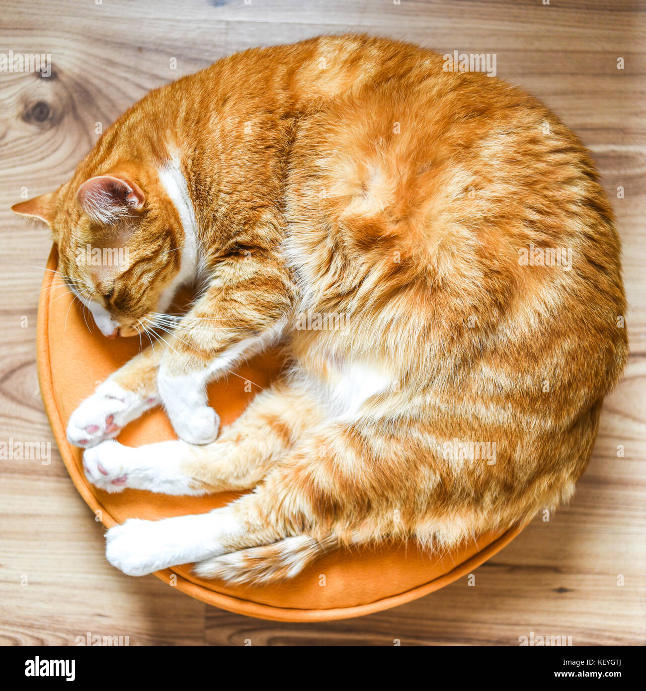 Adult redhead cat lying on a round pillow at home. - Stock Image