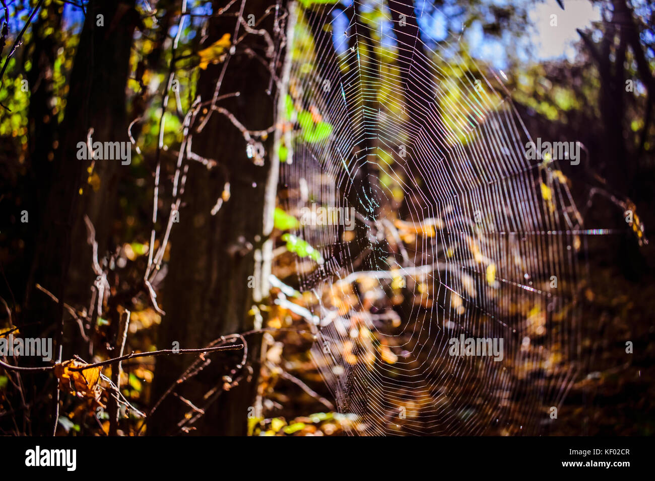 Spider Web Among The Trees, Lit By The Sun's Rays - Stock Image