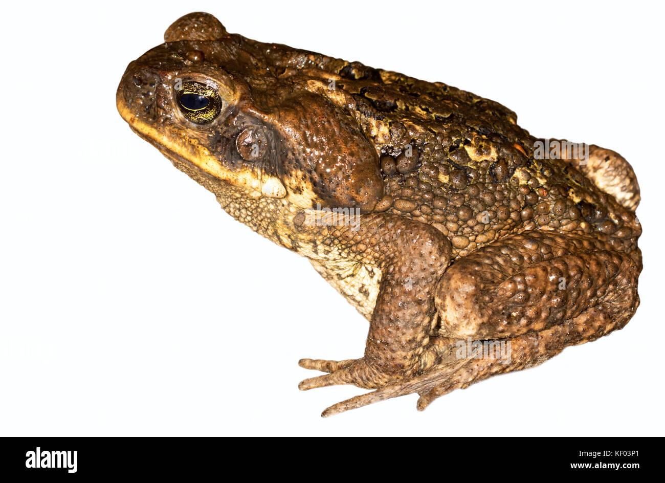Cane toad, Amazon jungles of Peru - Stock Image