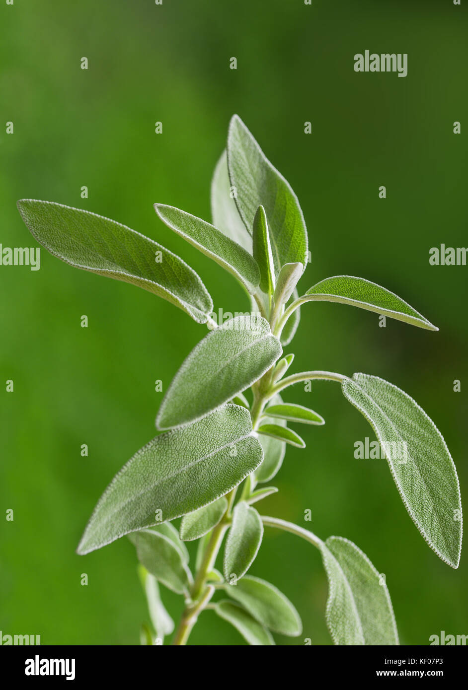 Sage plant (salvia officinalis) on blurred green background, - Stock Image