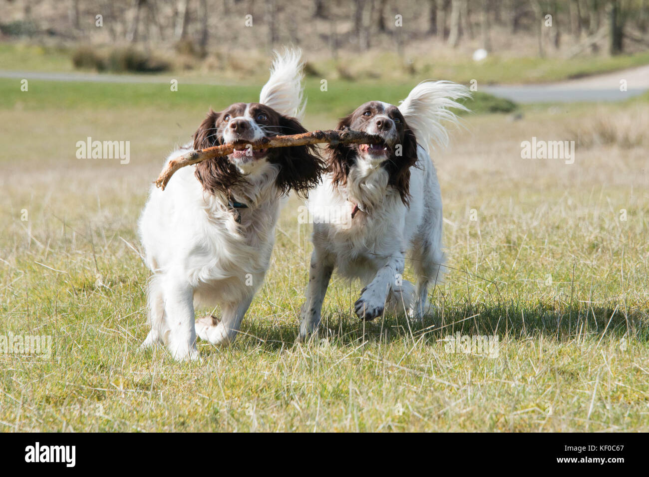 Playful springer spaniels carrying a stick during a walk through fields in the UK - Stock Image