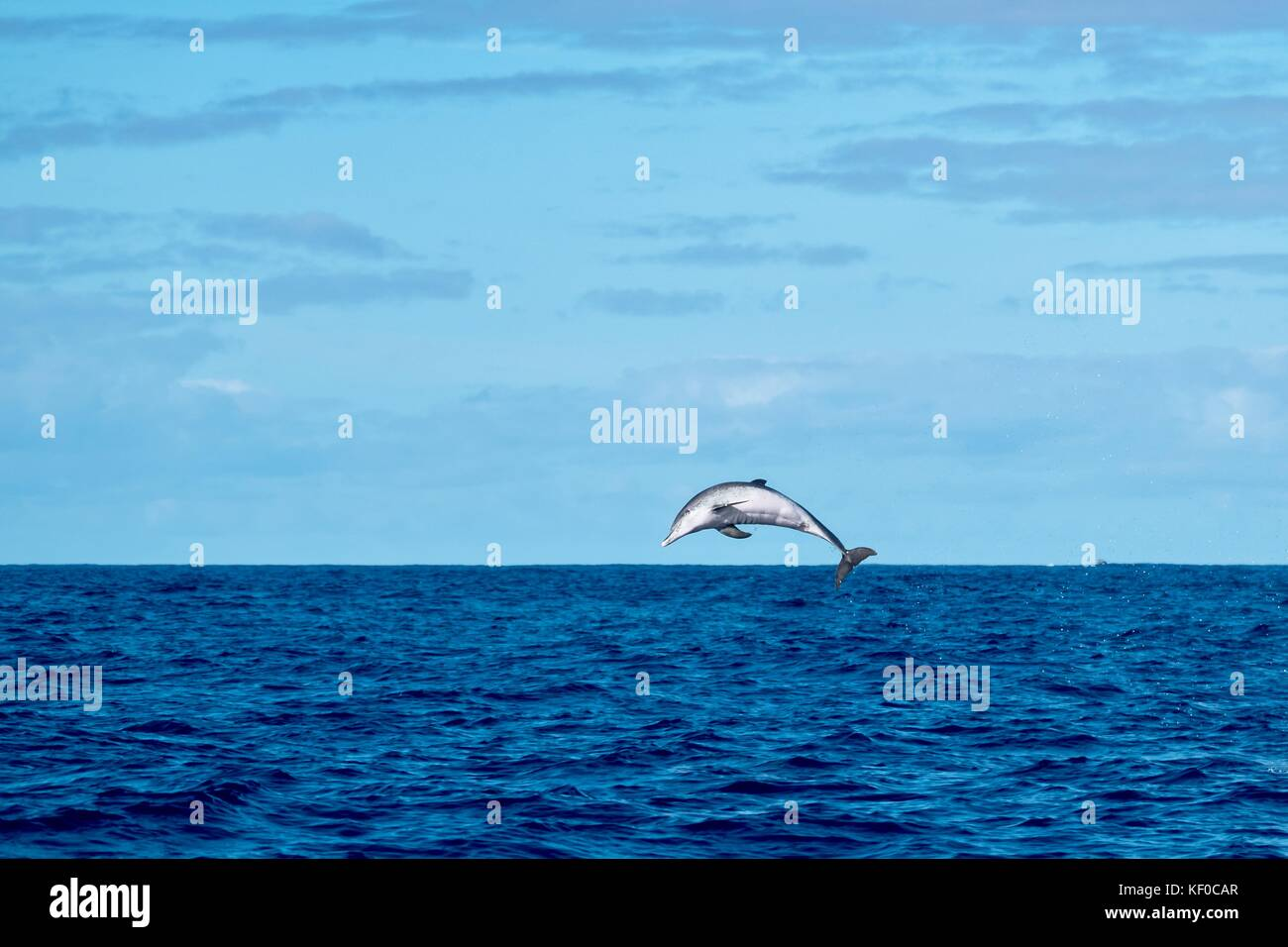 An Atlantic spotted dolphin leaping from the ocean near to Pico Island. - Stock Image