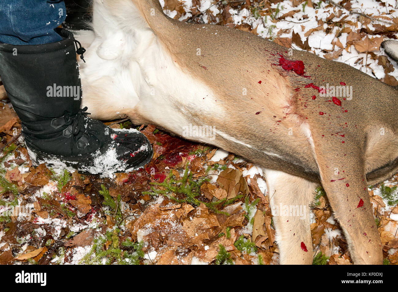 Hunter standing by bloody white tail deer shot dead at hunting - Stock Image