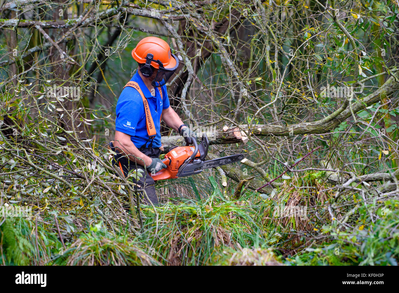 Man using a Husqvarna chainsaw to thin out a wood, RSPB Leighton Moss, Silverdale, Carnforth, Lancashire. Stock Photo