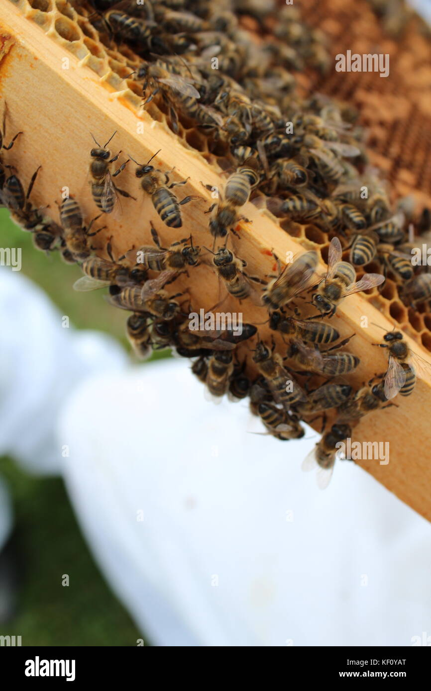 Queen bee - Stock Image