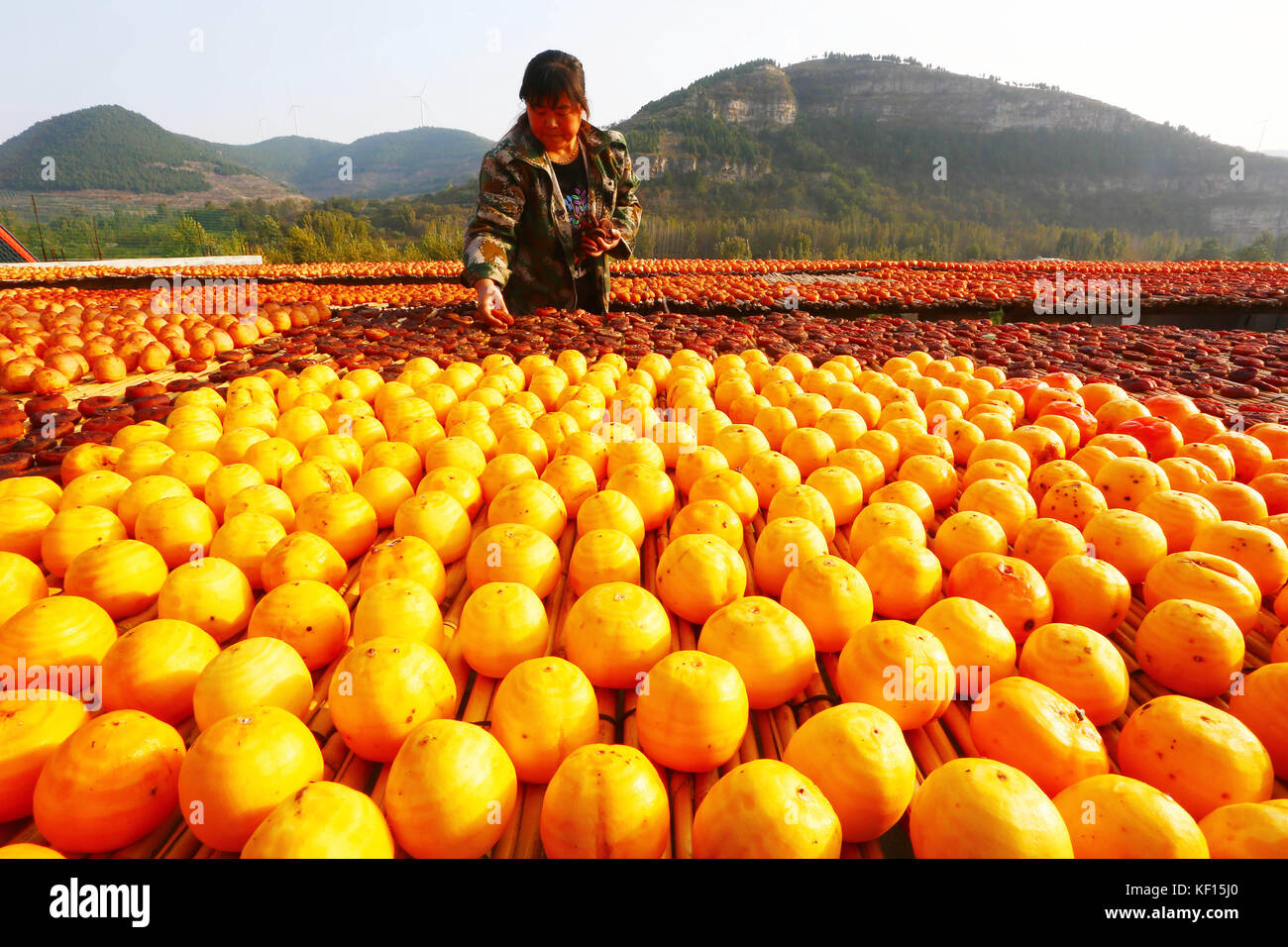Zaozhuan, Zaozhuan, China. 24th Oct, 2017. A peasant airs the persimmons on the roof to make persimmon cakes at - Stock Image
