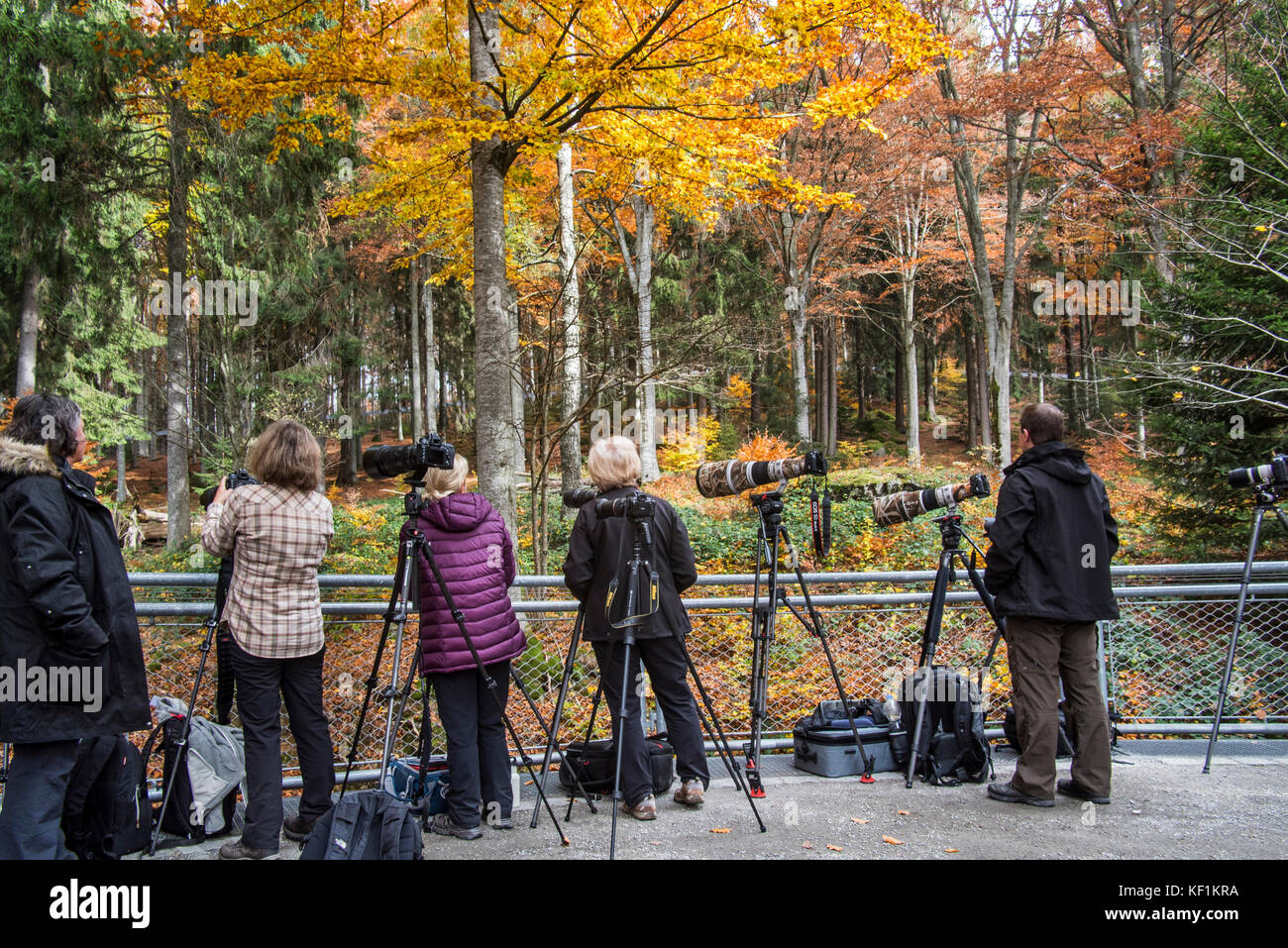 Nature photographers waiting at the wolf enclosure to photograph wolves in the Bavarian Forest National Park / Nationalpark Stock Photo