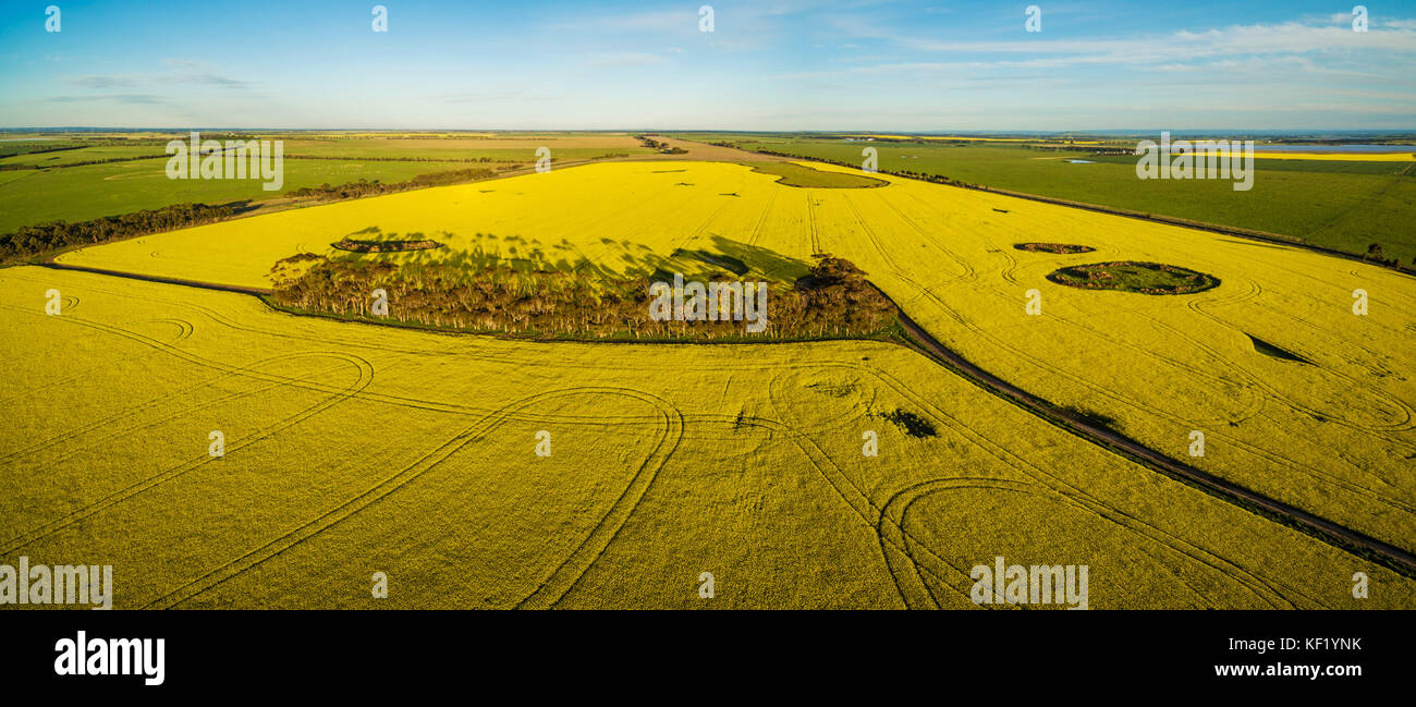 Aerial panorama of canola field at sunset in Australia - Stock Image
