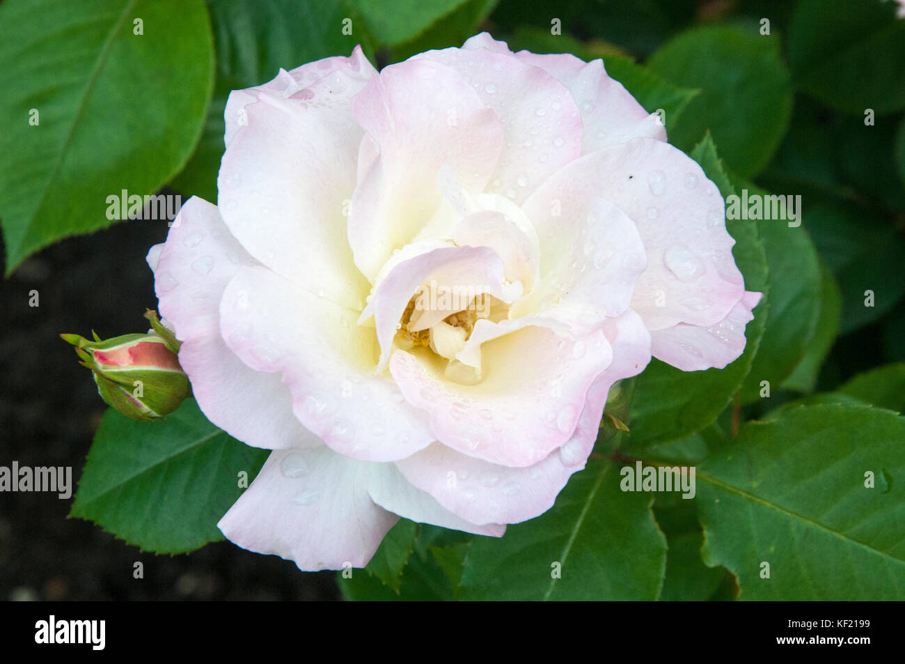 Seduction, a hardy standard rose variety - Stock Image