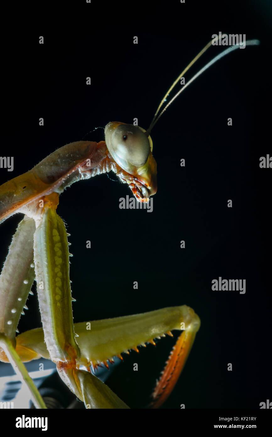 Mantis, macro photography common green mantis or pray mantis isolated on black background. - Stock Image