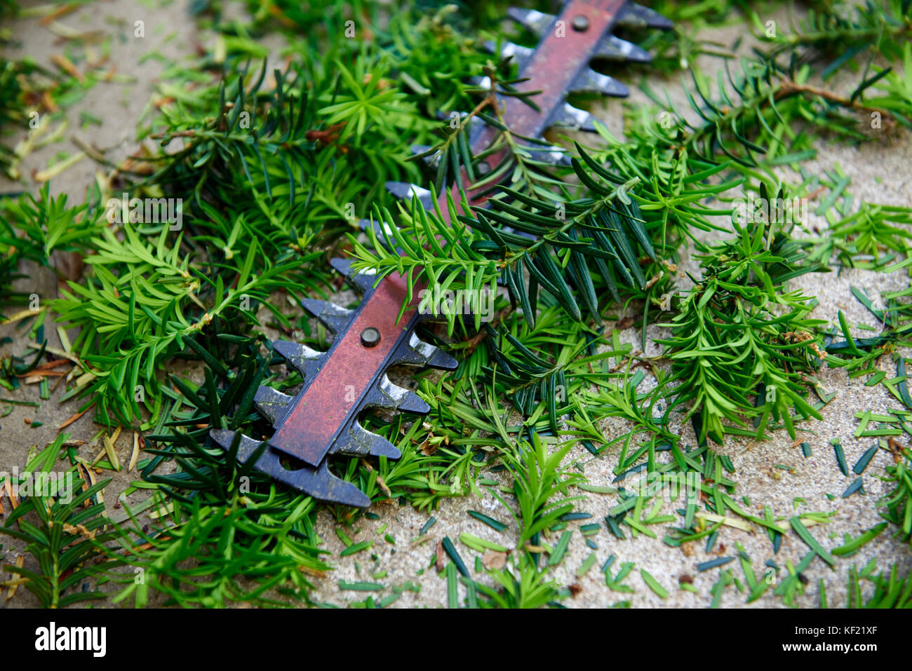 After the yard work, yew bush hedge trimmings with the electric hedge trimmer and gloves - Stock Image