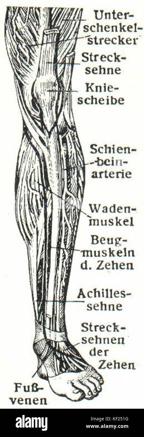 Nett Muskeln Im Bein Und Hüfte Fotos - Anatomie Von Menschlichen ...