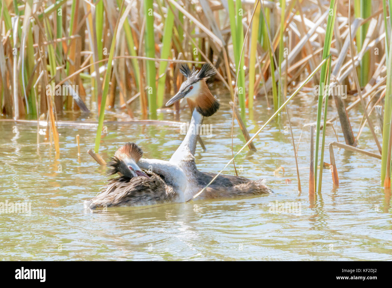 Two great crested grebes dancing during mating season in their winter plumage. - Stock Image