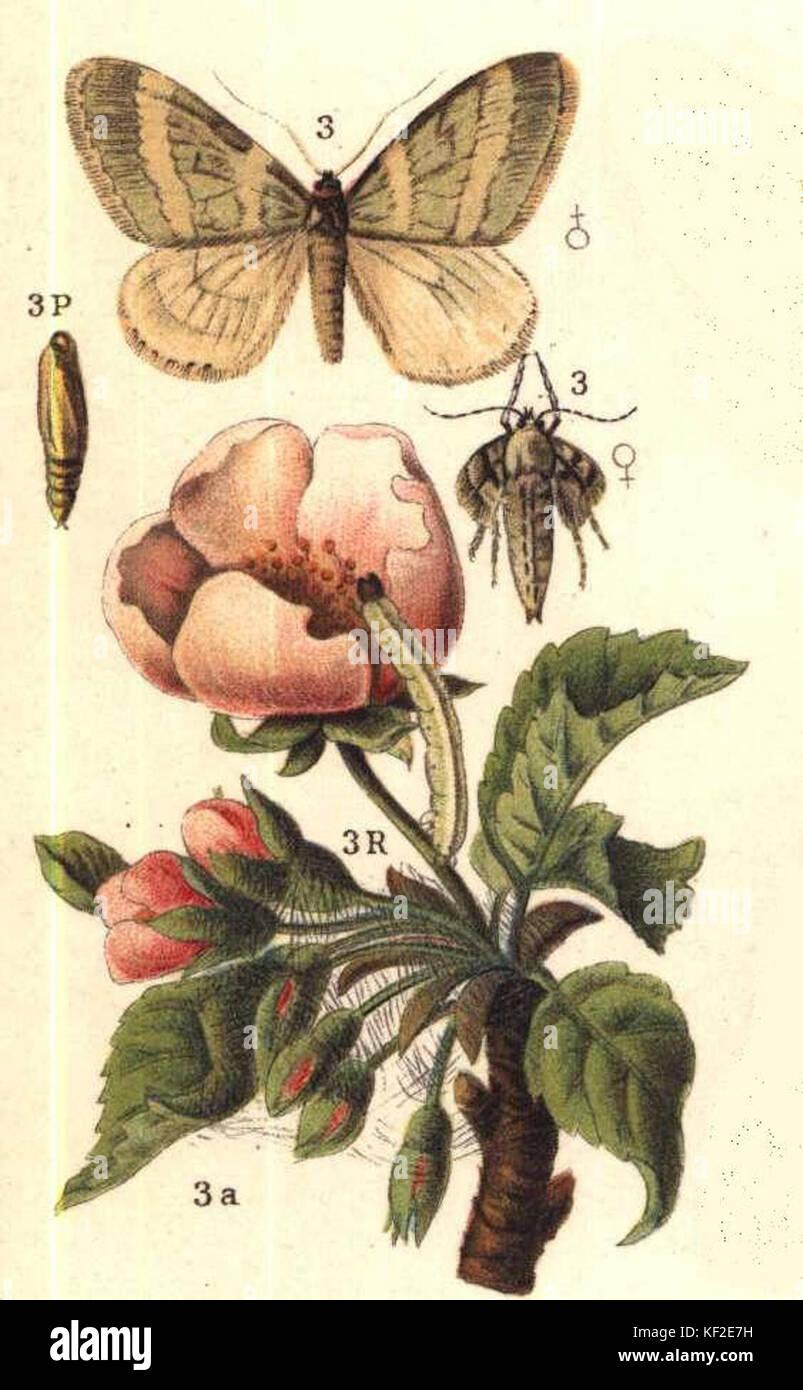Operophtera brumata ugglan - Stock Image