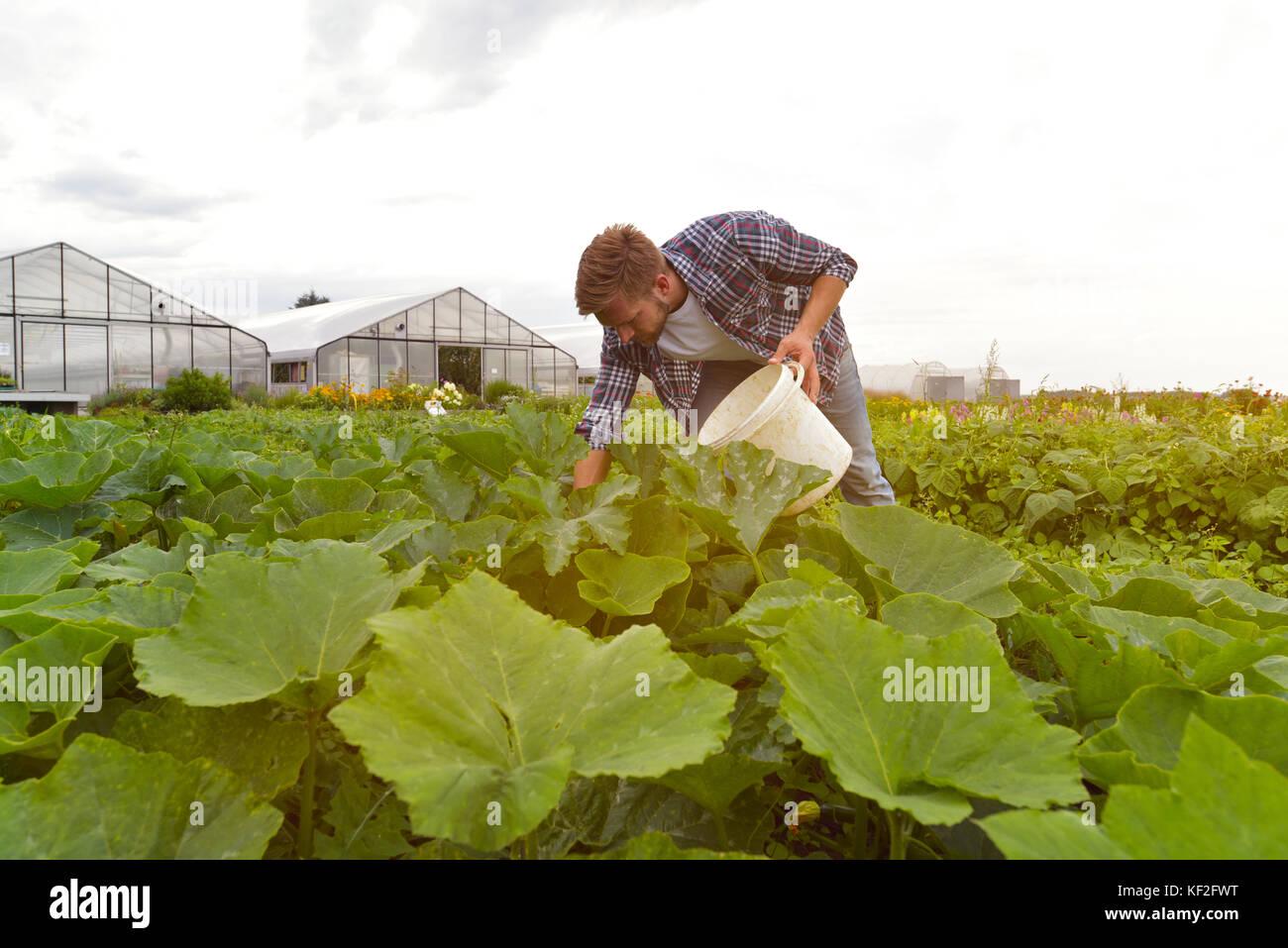 Farmer bei der Arbeit auf dem Feld in der Landwirtschaft - Gemüseanbau - Stock Image
