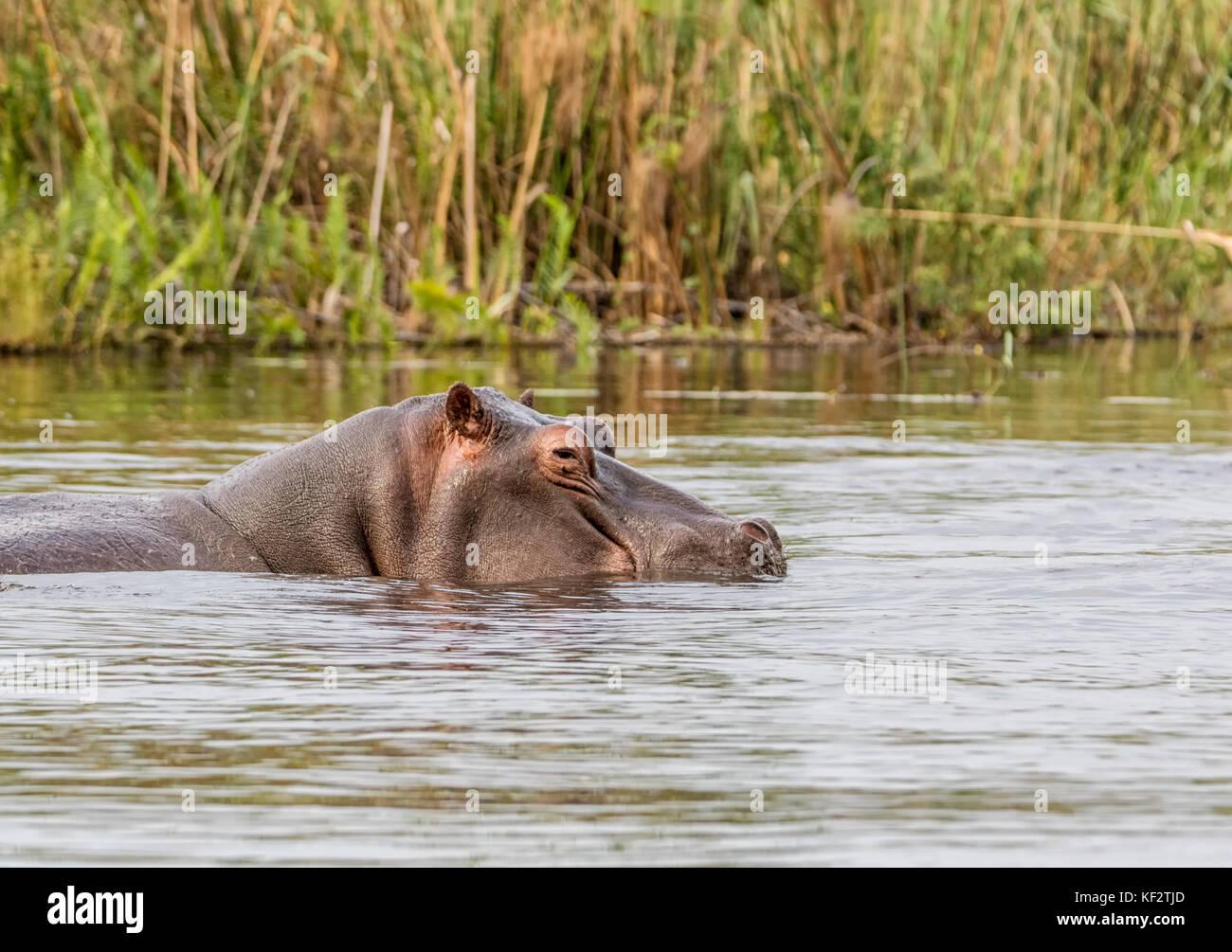 Hippo in a river in the Caprivi Strip, Namibia Stock Photo