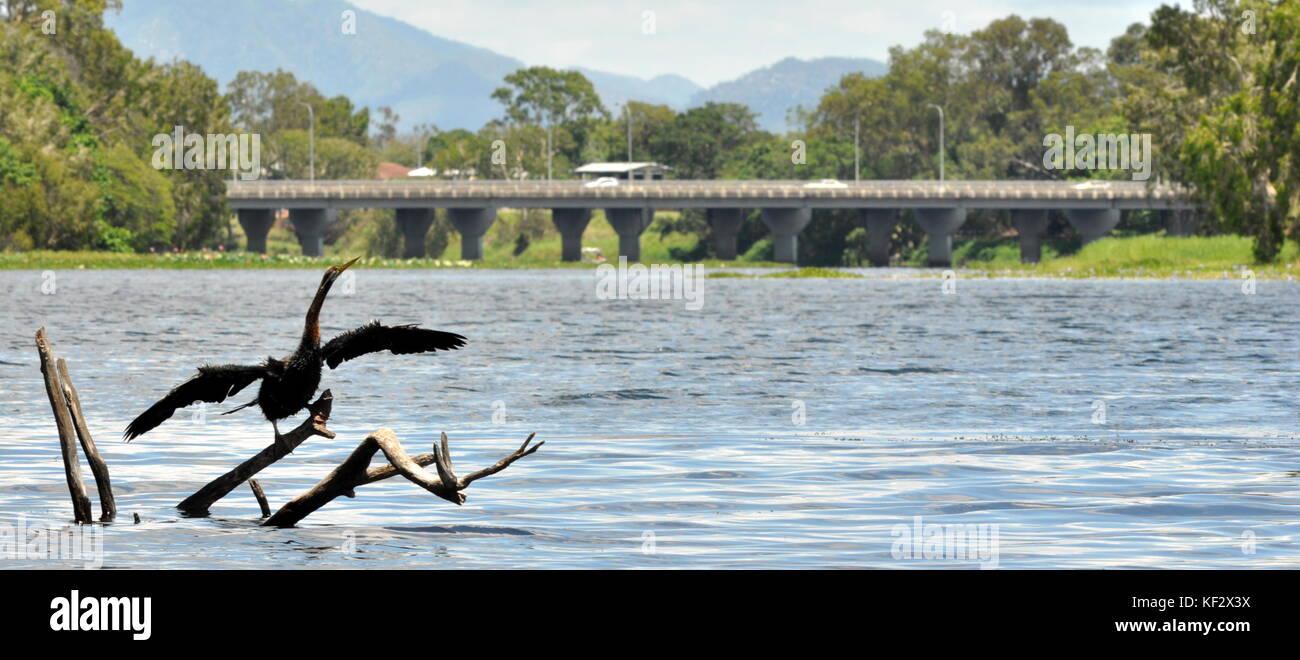 Australasian Darter (Anhinga melanogaster) drying its wings inbetween meals, Ross River, Townsville, Australia, - Stock Image