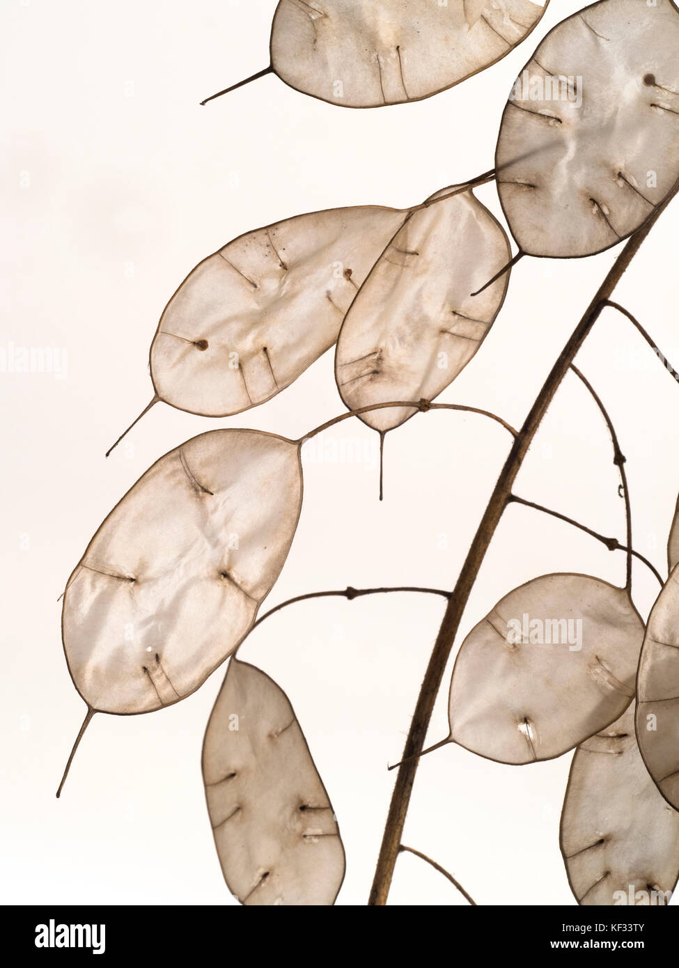 Annual honesty Lunaria annua seed heads Stock Photo