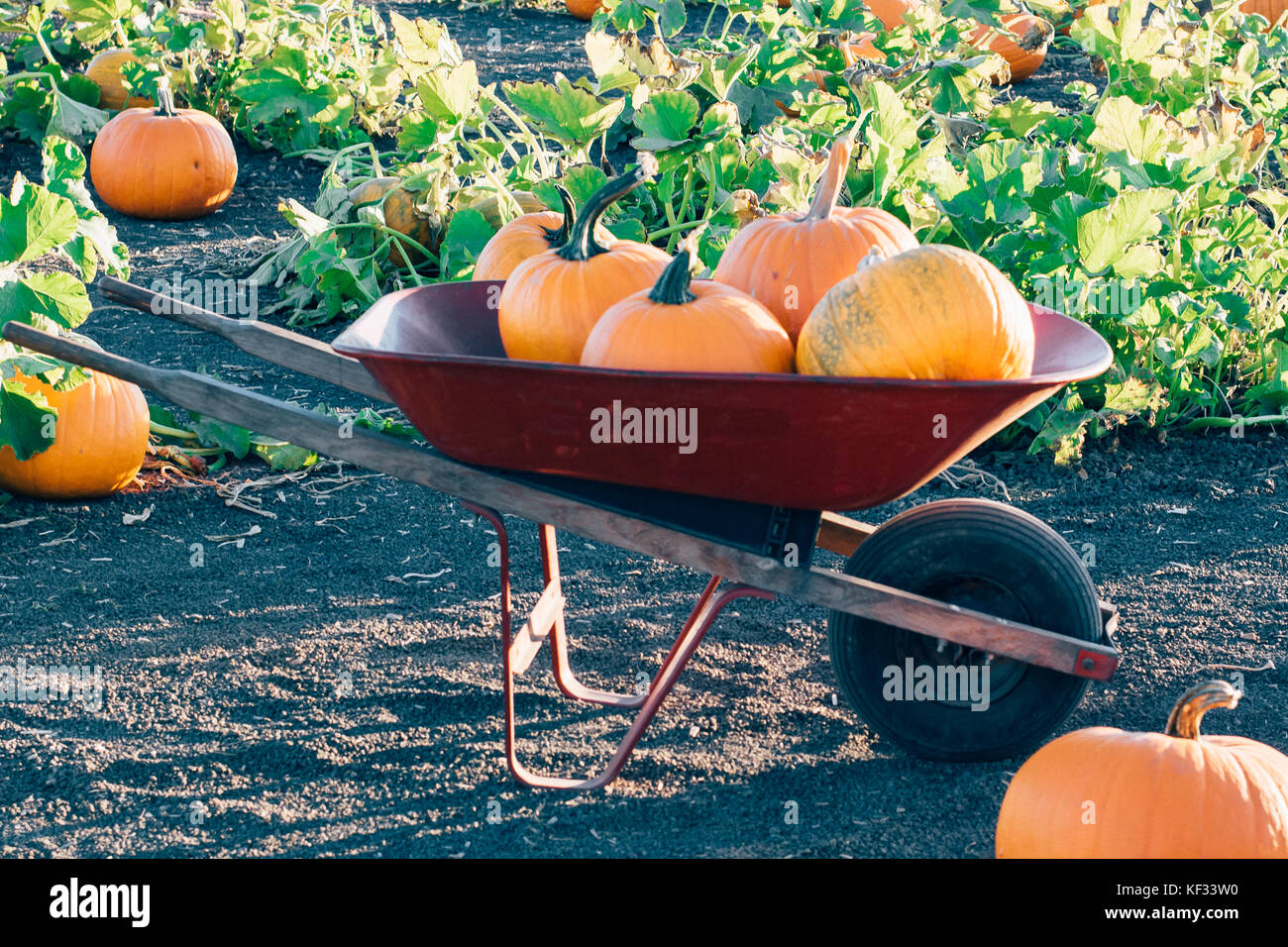 Fairytale pumpkins on a vine at golden hour in a pumpkin patch symbolizing October, November, Fall, or Autumn Stock Photo