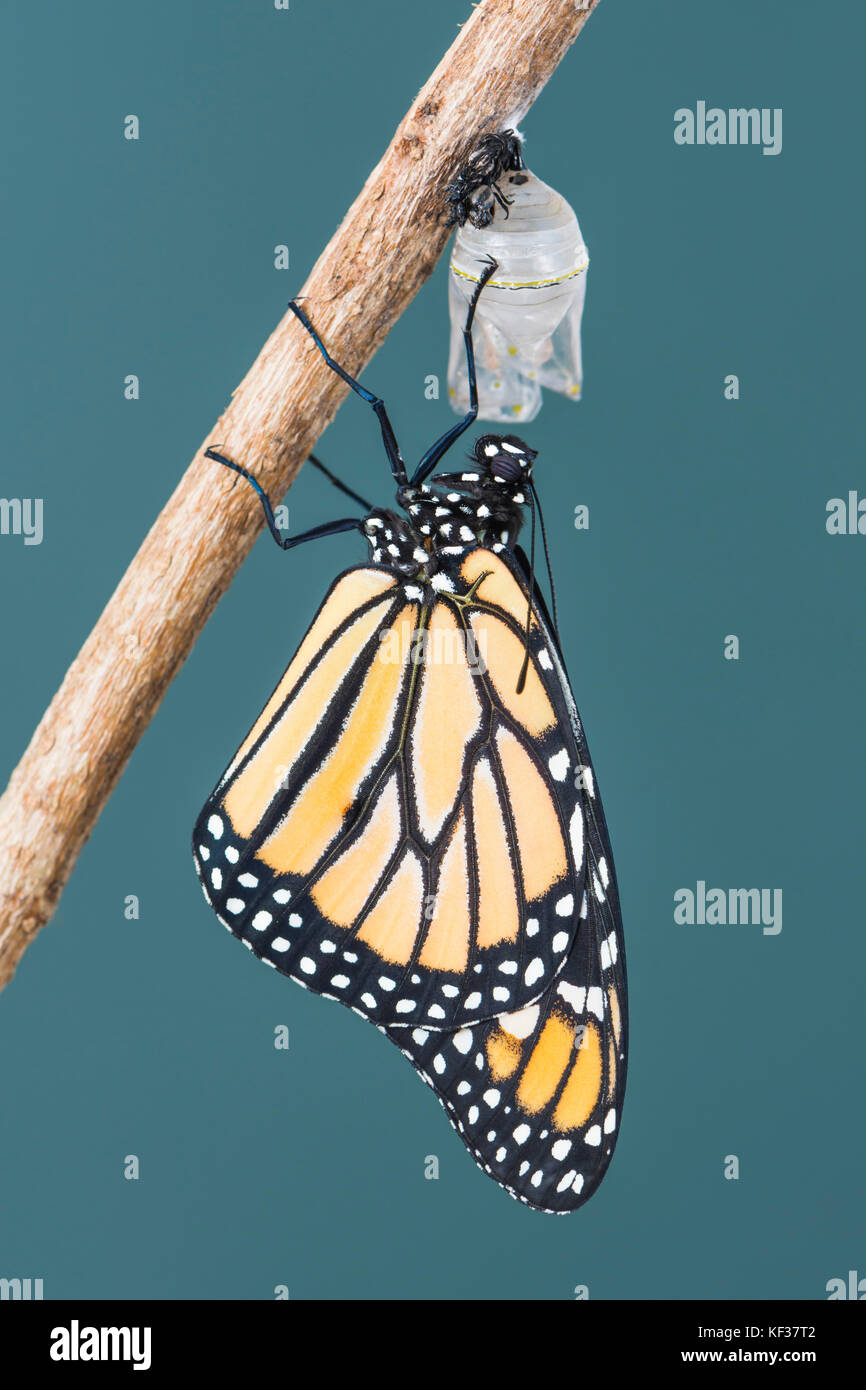 Monarch butterfly Danaus Plexippus hanging from a chrysalis shell while drying its wings - Stock Image