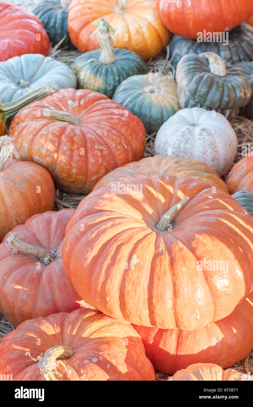 Fairytale pumpkins on the vine in a pumpkin patch symbolizing halloween, thanksgiving, fall and autumn. Stock Photo