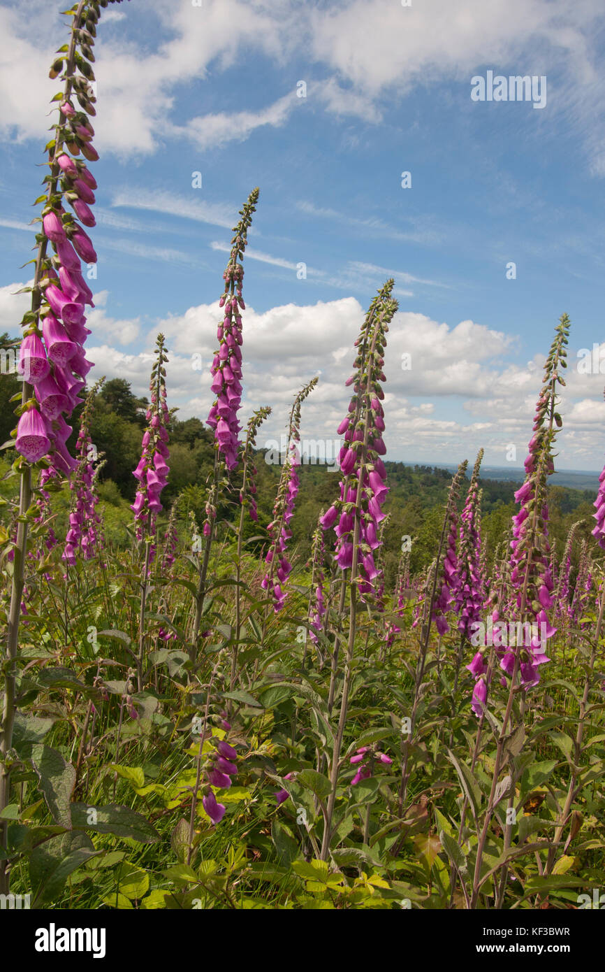 common purple foxgloves (Digitalis purpurea) growing on hillsides of Devils Punchbowl, Hindhead, Surrey, England - Stock Image